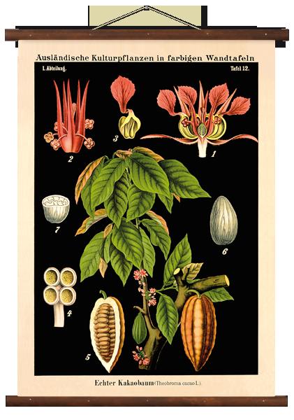 Lehrtafel-Vintage-Echter-Kakaobaum-Braun
