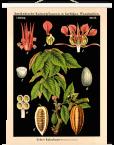 Lehrtafel-Vintage-Echter-Kakaobaum-Weiss
