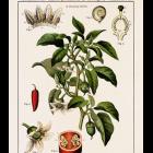 wallchart capsicum