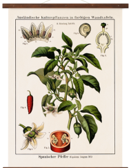 wallchart capsicum