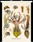 Wall chart Centaurea Cyanus