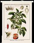 """Botanische Lehrtafel""""Capsicum"""" weiße Holzleisten"""