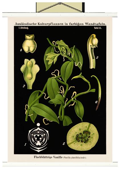 """Botanische Lehrtafel """"Vanille"""" weiß"""