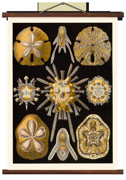Wall chart Echinoidea