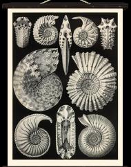 Schulwandkarte Ammonitida