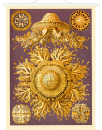 Schaubild Scheibenqualle II