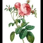 Lehrtafel_Rosa_Centifolia_braun