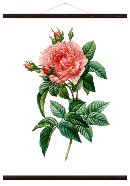 Wallchart Rosa Gallica