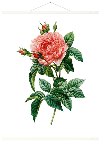 Rollbild Rosa Gallica